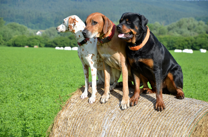 White dog, brown ridgeback and black rottweiler sit on roll