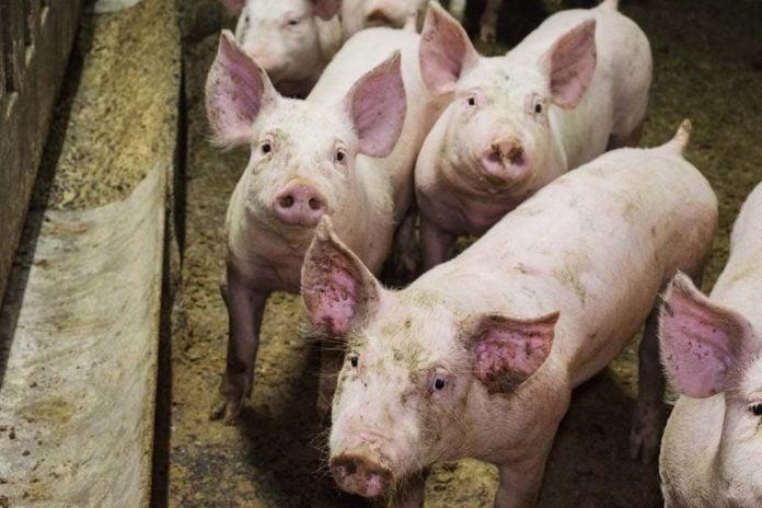 suini benessere animale
