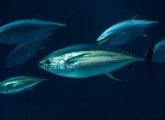 tonno tonni